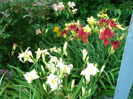 July Daylily Party